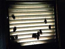 bats in vent louisville ky